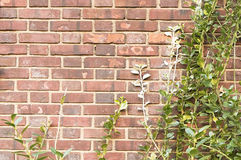 Red brick wall with green branches background texture Stock Photography