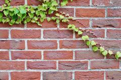 Brick wall red background with ivy growing across copy space royalty free stock photos