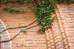Red brick wall and ivy leaves green plants Stock Photos