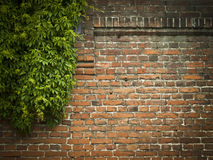 Red Brick Wall With Green Ivy Background Royalty Free Stock Images