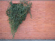 Red bricks with ivy Stock Images