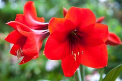 Red bright flowers Amaryllis lilies stock photo