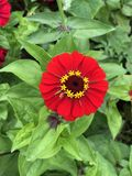 Red bright gerbera flower on green foliage background. Close-up stock photo