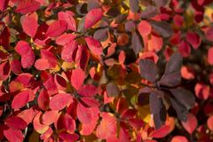 Red bright, leaves autumnal background. Beautiful red bright, leaves autumnal background stock images