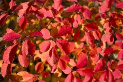 Red, bright, leaves autumnal background. Red, bright, leaves as beautiful autumnal background close up shot royalty free stock image
