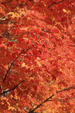 Red bright leaves Fall colors Stock Photos
