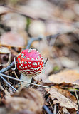 Red bright mushroom in autumn forest Royalty Free Stock Images