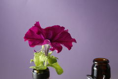 Red bright petunia flower on a glass bottle on a purple background Royalty Free Stock Image