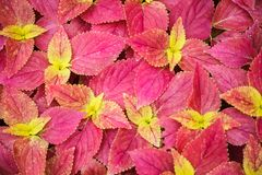 Red Bright Skullcaplike Coleus, Coleus Blumei, also named painted nettle background. They are cultivated as ornamental plants, whi. Ch is popular as a garden royalty free stock photo
