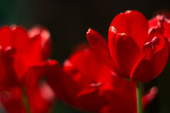 Red bright tulips on a dark background in the garden. Selective soft focus.