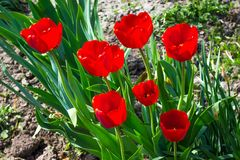 Red bright tulips in garden. Sunny spring or summer day_ royalty free stock images