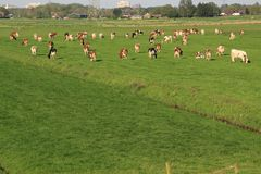 The red brindled and holsteins friesian cattle are grazing in the grassland at the countryside in the summer.