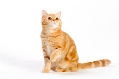 Red british cat Royalty Free Stock Photography