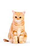 Red british cat Stock Photography