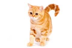 Red british cat Stock Images