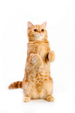 Red british cat Royalty Free Stock Photo