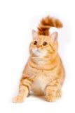 Red british cat Stock Photo