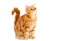 Red british cat Stock Photos