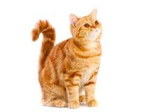 Red british cat Stock Photos