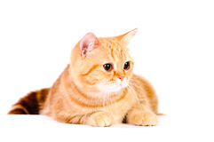 Red british cat Royalty Free Stock Images