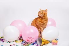 Red british cat in a birthday confetti and balloons