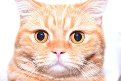 Red,British cat. Full face Royalty Free Stock Image