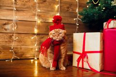 Red british cat in knitted hat and scarf sitting under Christmas tree and present boxes. Concept of the New Year and Christmas royalty free stock image