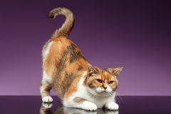 Red British Cat picked up tail like question symbol. On Purple Background Royalty Free Stock Images