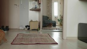 Red british cat scratches up and smells carpet on floor and examines it. Curious cat at home. Red british cat smells carpet on floor and examines it with stock video
