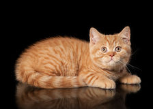 Red british kitten Stock Images