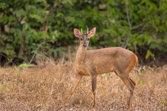Red Brocket Deer looking at camera Royalty Free Stock Photography