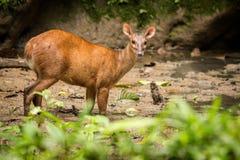 Red Brocket Deer Mazama americana. Wildlife scene from nature. Deer, nature habitat. Wildlife Ecuador. Mammal environment, rainy day Royalty Free Stock Photo