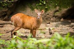 Red Brocket Deer Mazama americana. Wildlife scene from nature. Deer, nature habitat. Wildlife Ecuador. Mammal environment, rainy day Stock Image
