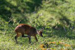 Red brocket deer Royalty Free Stock Photo