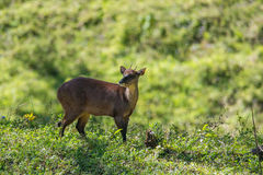 Red brocket Stock Image