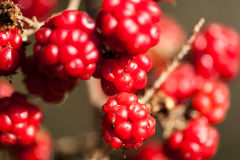 Red brombeere berries Royalty Free Stock Photos