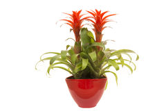 Red bromelia in red flower pot Royalty Free Stock Images