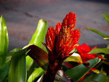 Red Bromeliad Royalty Free Stock Photography
