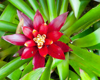 Red Bromeliad. Flower background card Stock Photography