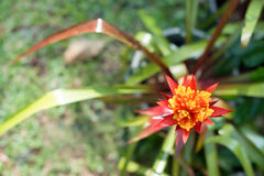 Red Bromeliad flower Stock Images