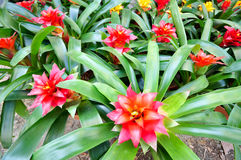 Red Bromeliad Stock Photo