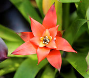 Red Bromeliad Royalty Free Stock Image