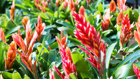 Red Bromeliad, Red flowers Stock Photo