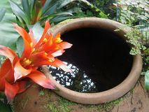 Red Bromeliads and cold clear water in garden clay jar Stock Image