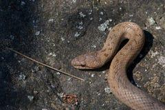 Red bronze color smooth snake Coronella austriaca on stone background. Reptile on a granite rock Stock Photo
