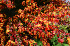 Red broom flowers Royalty Free Stock Images