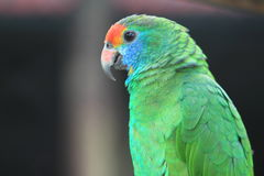 Red-browed amazon Royalty Free Stock Images