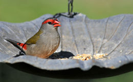 Red Browed Finch stock image