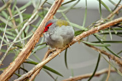 Red browed finch. This is a close up of a red browed finch Stock Images