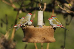 Red Browed Finch. The red-browed finch is an estrildid finch that inhabits the east coast of Australia. This species has also been introduced to French Polynesia Stock Photography
